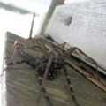 fishing_spiders_mating_valerie_050