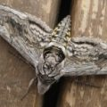 five_spotted_hawkmoth_bethany