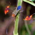 flag_footed_bug_costa_rica_paula