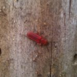flat_red_bark_beetle_derek