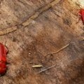 flat_red_bark_beetles_colorado