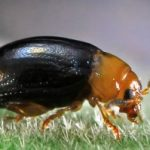 flea_beetle_australia_margot