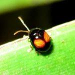 flea_beetle_indonesia_mohamad