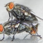 flesh_flies_mating_brian