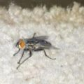 flesh_fly_ca