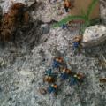 florida_predatory_stink_bug_kat