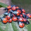 florida_stinkbug_aggregation_linda