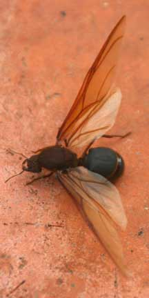 Edible Mexican Queen: Leaf Cutting Ant - What's That Bug?