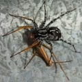 food_chain_spiders_australia_trevor