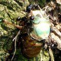 foodchain_cicada_ants