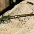 fragile_forktail_damselfly_naomi