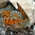fritillaries_mating_syria_wael