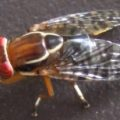 fruit_fly_malaysia