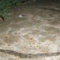 fungus_gnat_larvae