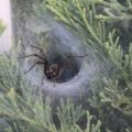 funnel_web_spider_michele