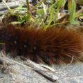 garden_tiger_moth_caterpillar