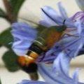 gardenia_bee_hawkmoth_australia_dionne