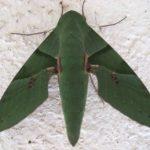 Gaudy Sphinx Moth