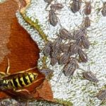 giant_bark_aphids_yellow_jacket_martha