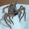 giant_crab_spider_jim