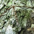 giant_eastern_crane_fly_