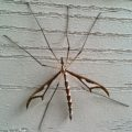 giant_eastern_crane_fly_gianna