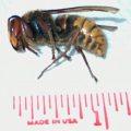 giant_hornet_renee