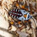 giant_mesquite_bug_mexico_jstanley