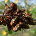 giant_mesquite_bug_nymphs_costa_rica_dyer