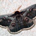 giant_peacock_moth_serbia_john