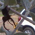 giant_stag_beetle_stefanie
