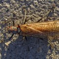 giant_stonefly_dori