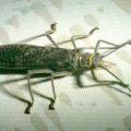 giant_stonefly_renee