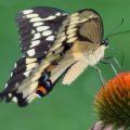giant_swallowtail_alf