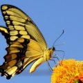 giant_swallowtail_anna