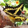 giant_swallowtail_caitlan