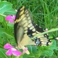 giant_swallowtail_katy