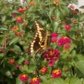 giant_swallowtail_sergei