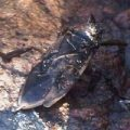 giant_water_bug_ontario