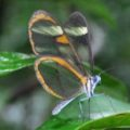 glasswing_argentina