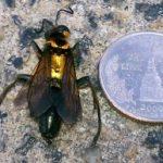 goldbacked_wasp_florida_jimmy