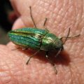golden_buprestid_chandra