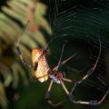 golden_silk_spider_delray_oaks_ann