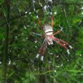 golden_silk_spider_taiwan_las