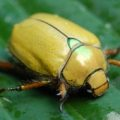 goldsmith_beetle