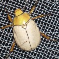 goldsmith_beetle_charlee