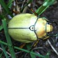 goldsmith_beetle_kathy
