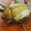 goldsmith_beetle_nathan