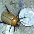 grapevine_beetle_brittany