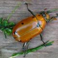 grapevine_beetle_ray
